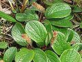 Salix reticulata a2.jpg