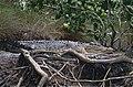 Saltwater Crocodile (Crocodylus porosus) (9733988760).jpg