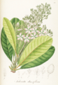 Salverta densiflora Pohl110.png
