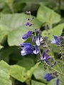 Salvia cacaliaefolia (Scott Zona) 001.jpg