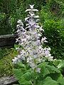 Salvia desoleana2.jpg