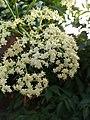 Sambucus nigra, elder, elderberry, black elder, European elder. 3.jpg