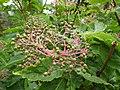 Sambucus racemosa (8088057510).jpg
