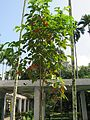 Sandoricum koetjape (Santol) tree in RDA, Bogra 01.jpg
