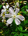 Saponaria officinalis 004.JPG