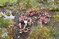 Sarracenia purpurea-Jardin des plantes de Nantes.jpg