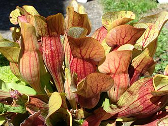 Sarracenia purpurea - Image: Sarracenia purpurosa france 2007 2