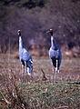Sarus Cranes (Grus antigone) (20451193142).jpg