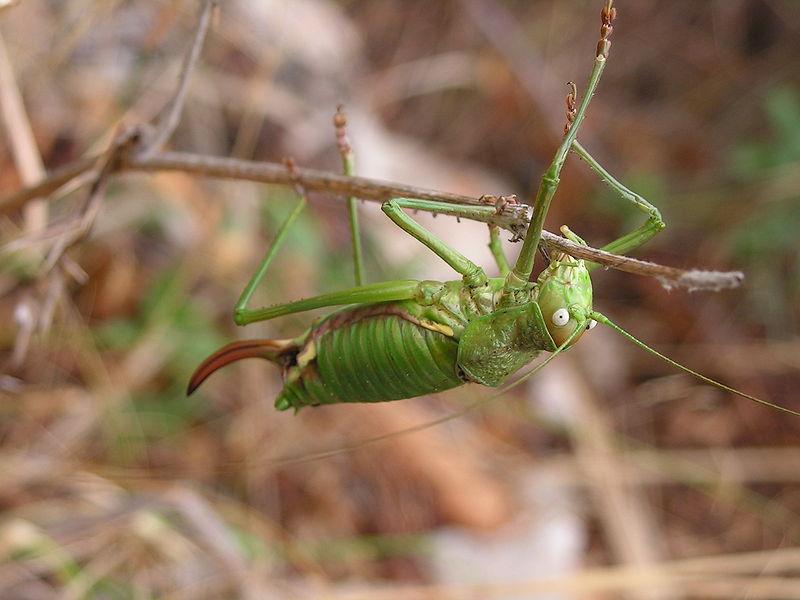 File:Sattelschrecke weiblich.JPG