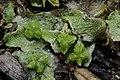 Sauteria alpina (b, 145509-474244) 9664.JPG