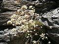 Saxifraga paniculata01.jpg