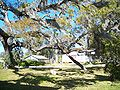 Saxon House Brooksville tree01.jpg