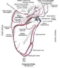 musculation epaule