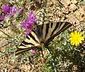 Scarce Swallowtail. Iphiclides podalirius feisthamelii. First brood female - Flickr - gailhampshire.jpg
