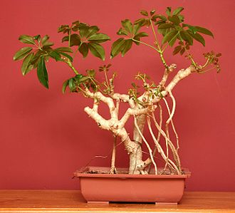 Aerial root - A Schefflera arboricola indoor bonsai soon after branch pruning to show extensive aerial roots.