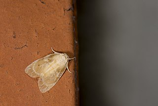 <i>Schistophleps bipuncta</i> Species of moth