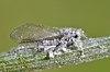 Schizolachnus sp 20120528.JPG