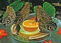Schmetterlingshaus Mannheim.jpg