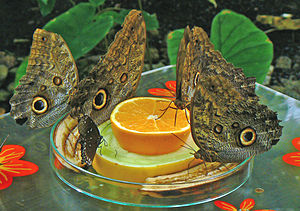 Butterfly house - Feeding butterflies at the Schmetterlingsparadies in Mannheim, Germany