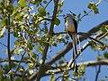 Scissor-tailed Flycatcher memories (47103096414).jpg