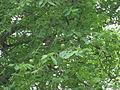 Sclerocarya birrea unripe fruit 1.jpg