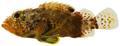 Scorpaenodes caribbaeus - pone.0010676.g044.png