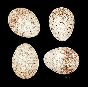Streaked scrub warbler - Eggs of Scotocerca inquieta saharae MHNT