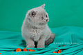 Scottish fold , straight 01.JPG