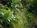 Scrophularia edgeworthii (7855590722).jpg