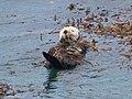 Sea Otter Pt Lobos State Natural Reserve Monterey CA 2017-04-11 11-43-29 (33513426443).jpg