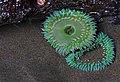 Sea anemone on the Oregon Coast (3222020816).jpg