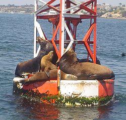 אריות ים קליפורנים