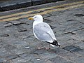 Seagull, Fishmarket, Folkestone - geograph.org.uk - 1412713.jpg