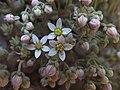 Sedum dasyphyllum Piazzo 05.jpg