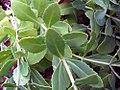 Sedum in the United States National Arboretum 003.jpg
