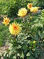 Semi-Kaktus-Dahlie 'Goldener Vulkan'.JPG