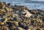 Semipalmated Plover, Drakes Island, Maine.jpg