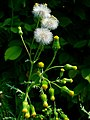 Senecio vulgaris 002.JPG