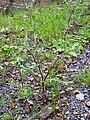 Senecio vulgaris Habitus 2010-3-21 SierraMadrona.jpg