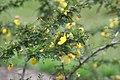 Senna polyphylla 38zz.jpg