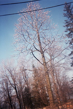 Senneville, Quebec - Non-native plant species of borderline hardiness, such as this tuliptree, thrive in Senneville's most favoured microclimate near Lac des Deux Montagnes.