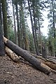 Sequoya National forest Giant Forest en2016 (8).JPG