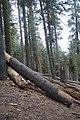 Sequoya National forest Giant Forest en2016 (8).JPG