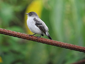 Serpophaga cinerea Tiranuelo salta arroyo Torrent Tyrannulet (6230421482).jpg