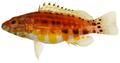 Serranus baldwini - pone.0010676.g060.png