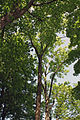 Seuttergasse, Hietzing, Bäume.jpg