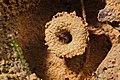 Shattuck 53877, Lordomyrma, Danum Valley, Sabah-web (5042976892) (2).jpg