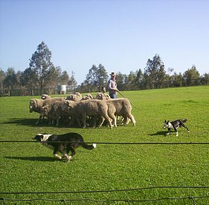 Station (Australian agriculture) - Border Collie and a collie cross working sheep in Queensland