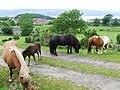 Shetland Ponies - geograph.org.uk - 491781.jpg