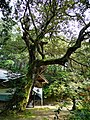 Shiba-jinjya(Yosano)樟.jpg